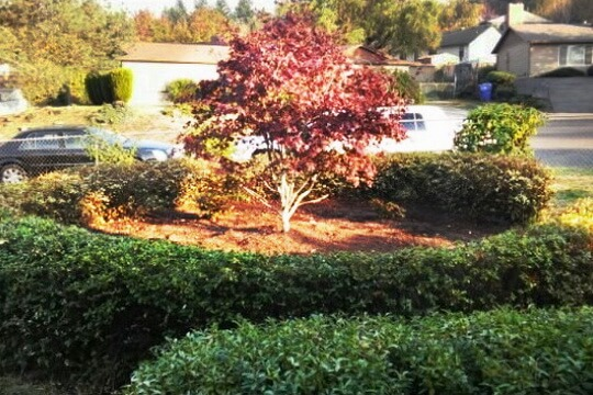 Trimming-Pruning-services-danshaplandscape-after